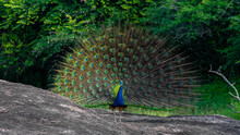 Dancing Peacock With Fluffed T...