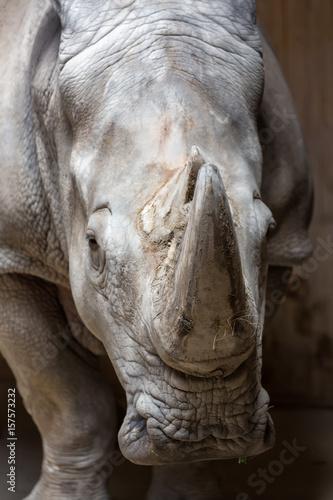 Close up portrait of white rhinoceros square-lipped rhinoceros