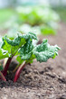 canvas print picture - Growing rhubarb