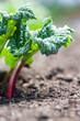 canvas print picture Growing rhubarb