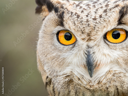 Deurstickers Uil Close up portrait of an eagle owl (Bubo bubo) with yellow eyes
