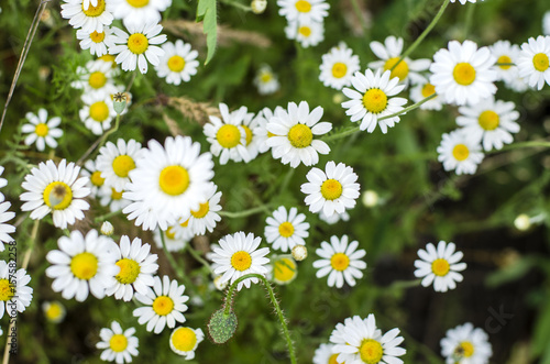 Fototapety, obrazy: Chamomile flowers summer day closeup