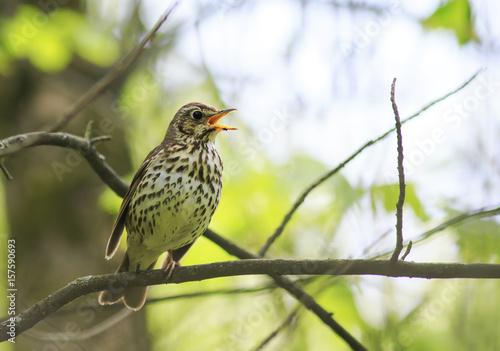 Fototapeta bird song thrush sings loudly in the spring woods