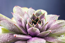 Beautiful Succulent Plant With Water Drops Close Up
