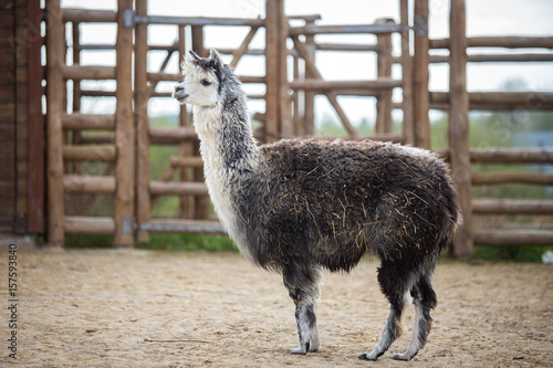 Foto op Canvas Lama The South American pack-animal of the family. Camels with valuable wool