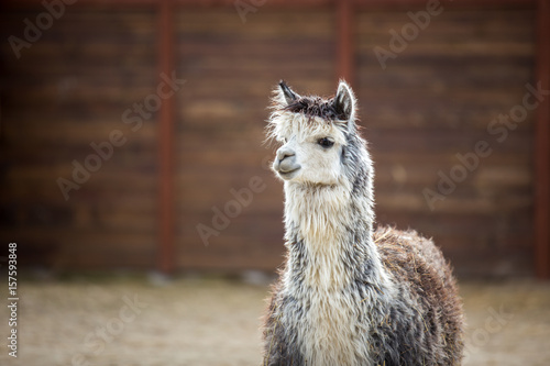 Fotobehang Lama The South American pack-animal of the family. Camels with valuable wool