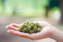 Green Pinecone On Woman's Hand