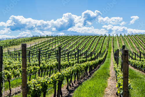 Foto op Canvas Wijngaard Vineyard in Springtime: Rows of Grapes under a blue sky