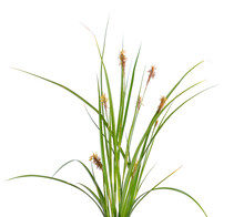 Carex Humilis, Also Known As D...