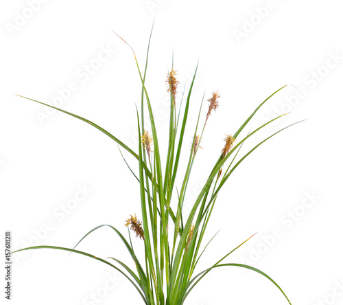 Fotografia, Obraz Carex humilis, also known as dwarf sedge.