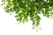 Leinwandbild Motiv Green tree branch isolated