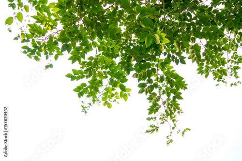 Canvas-taulu Green tree branch isolated