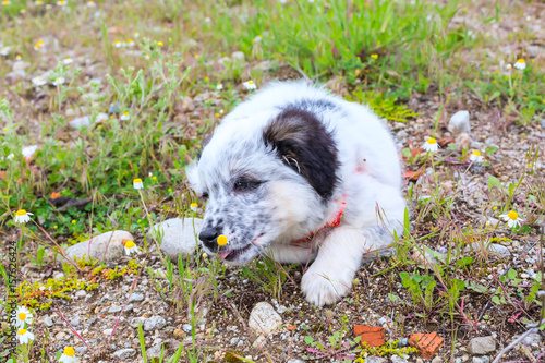 Tuinposter Franse bulldog Cute white and black bulgarian sheep dog puppy looking at the flower