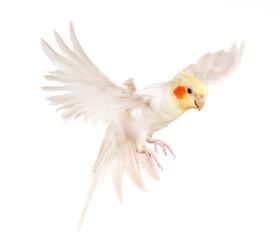 flying gray cockatiel