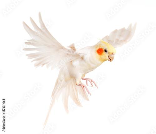Fotografia, Obraz flying gray cockatiel