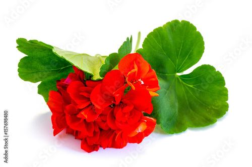 Rote Geranie, Pelargonie isoliert freigestellt auf weißen Hintergrund, Freisteller