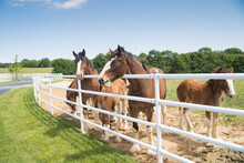 Boonville, MO - May 30, 2017:  A Group Of Mares And Young Clydesdales Being Raised At Anheuser-Busch Warm Springs Ranch