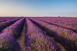 France, Provence Alps Cote d'Azur, Haute Provence, Plateau of Valensole. Lavender field in full bloom
