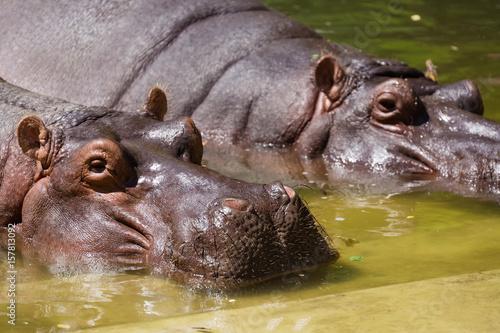 Hippopotamus couple resting in the water in zoo