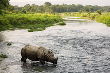 Big Rhino In A River In Chitwa...