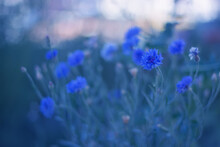 Blue Flowers Cornflowers On De...