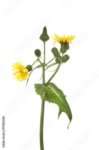 Fototapeta Sow-thistle flower and foliage