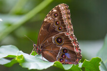 Blue Morpho Butterfly With Win...