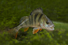 Fishing Background With Perch ...