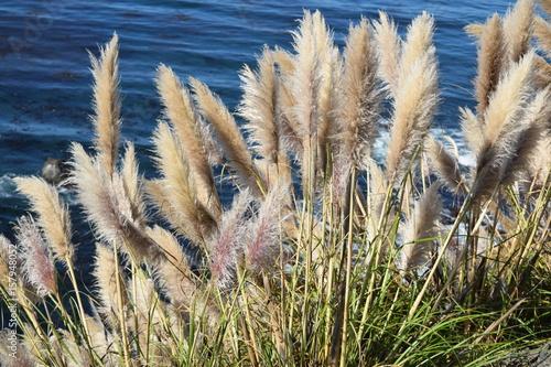 Fotografie, Obraz  Pampas grass