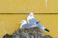 Seagulls Sitting On Their Nest...