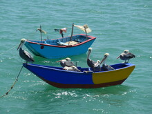 Colorful Fishing Boats Covered In Pelicans Floating On A Clear Green Ocean.
