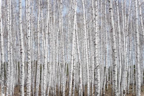 birch forest - 157982846