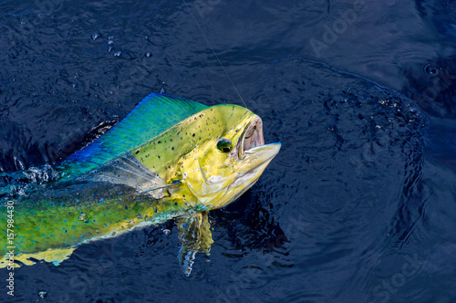 Fotografie, Obraz  Colorful head of Mahi Mahi