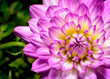 canvas print picture - Dahlia Beauty, pink, white, and yellow highlights close-up