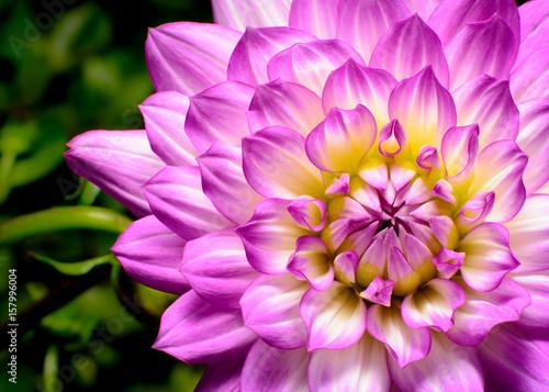 Plakat Dahlia Beauty, różowe, białe i żółte podkreślają zbliżenie