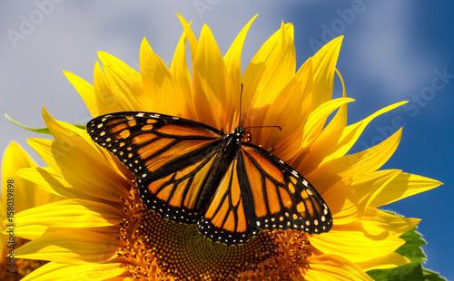 Poster Vlinder Monarch Butterfly on Sunflower