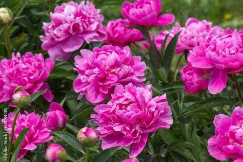 Foto op Canvas Azalea pink peony grows on a flower bed