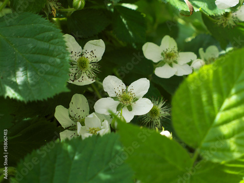 Fényképezés  Flowers of blackberry. White flowers garden dewberry