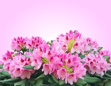 Blooming Pink Azalea Or Rhododendron Flowers Isolated On Pink Gradient Background