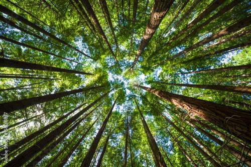 redwood secuoya