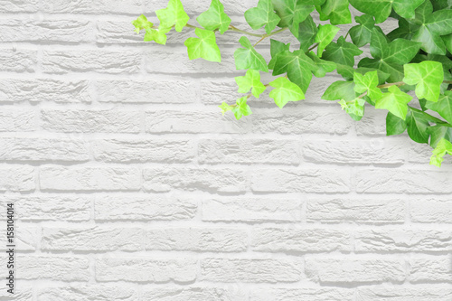 ivy white wall background Canvas Print