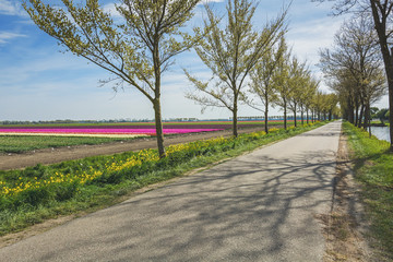 Fototapeta na wymiar Road with a row of trees flanked by the beautiful and colorful tulip fields .Road with a row of trees
