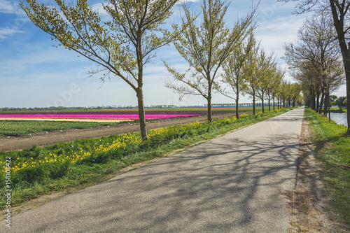 Road with a row of trees flanked by the beautiful and colorful tulip fields Wallpaper Mural