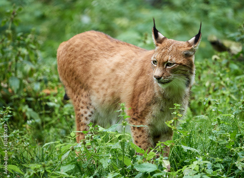 Foto op Plexiglas Lynx Cautious lynx standing in the grass on meadow in summer