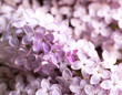 Bunch of beautiful lilac flowers, closeup