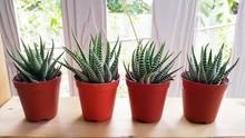 Succulent, Haworthia Fasciata (Selective Focus).