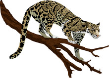 Vector Clouded Leopard (neofelis Nebulosa)