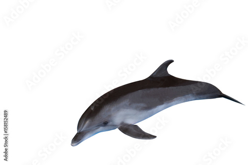 Poster Dolfijnen The dolphin isolated on a white background , sea inhabitant