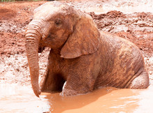 Young Elephant Sitting In Mud