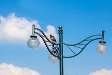 Black Starling On A Street Lamp